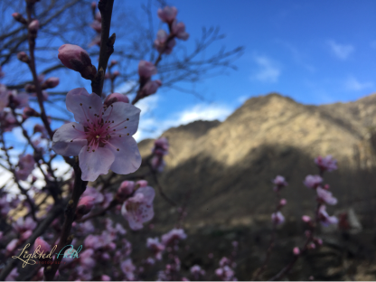 Cherry Blossoms against the Southern Alps